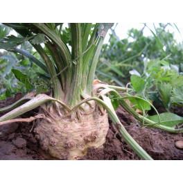 BIO celer bulva (Damnice)